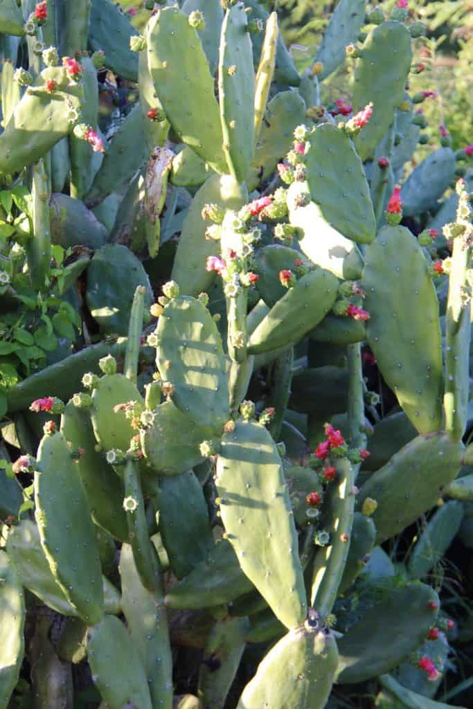prickly green cactus with small pink flowers