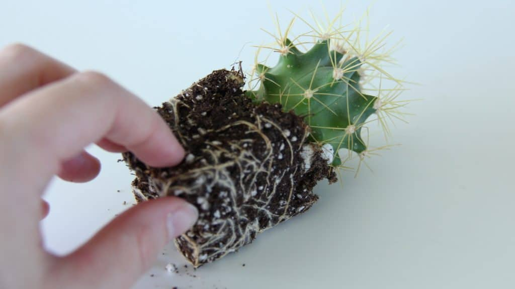 taking good care of cactus plants