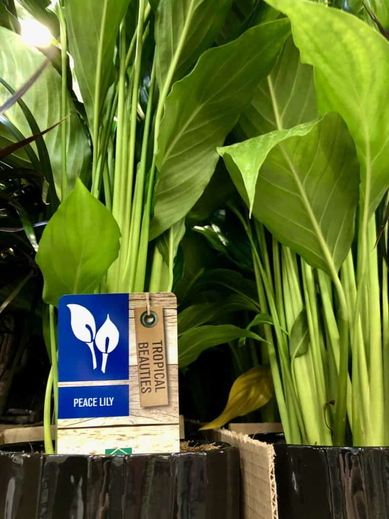 watering a peace lily house plant indoors - frequency and how to water it