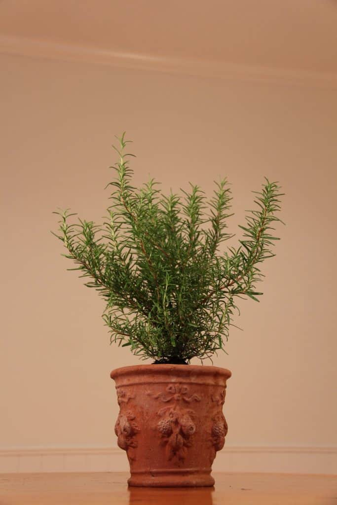 Classic Terra Cotta Herb Planter with Rosemary