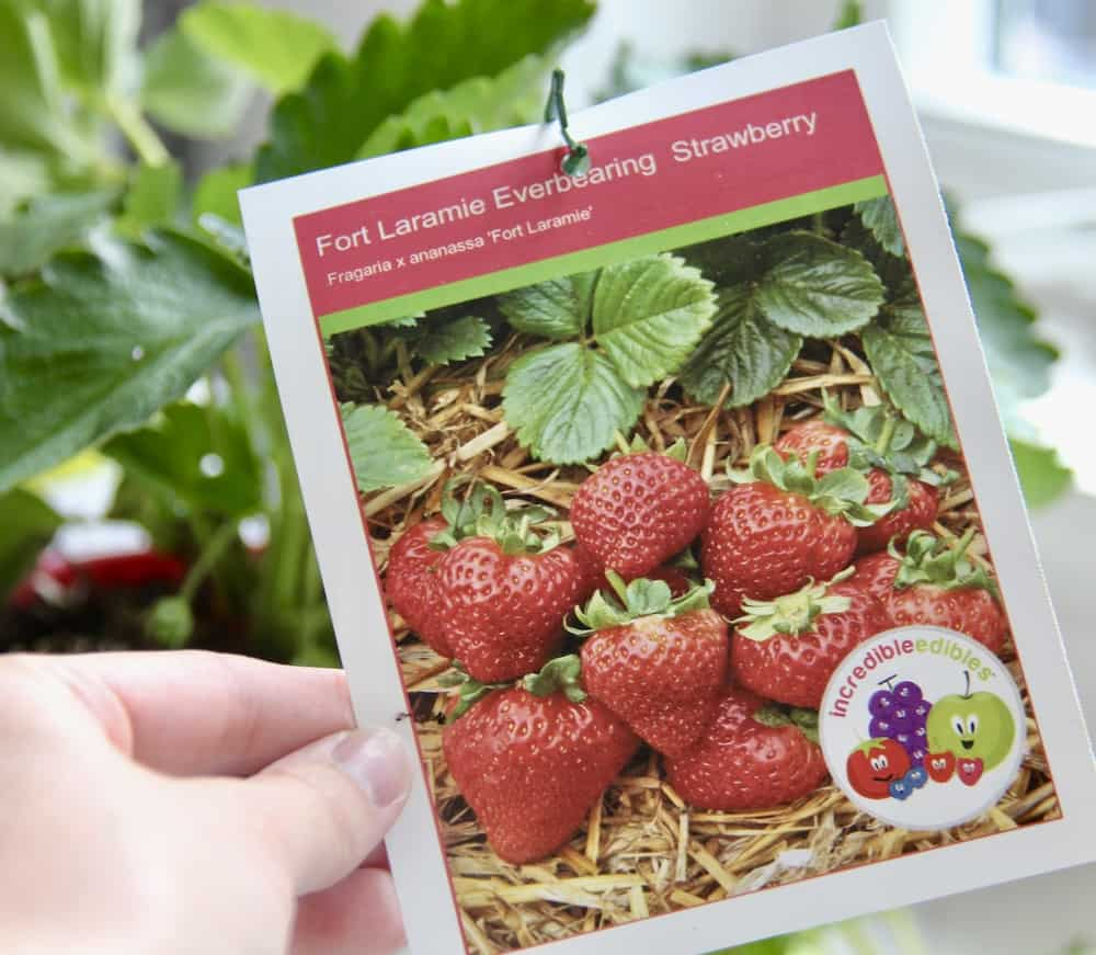 Fort Laramie Everbearing Strawberries - Plant Tag from Bylands