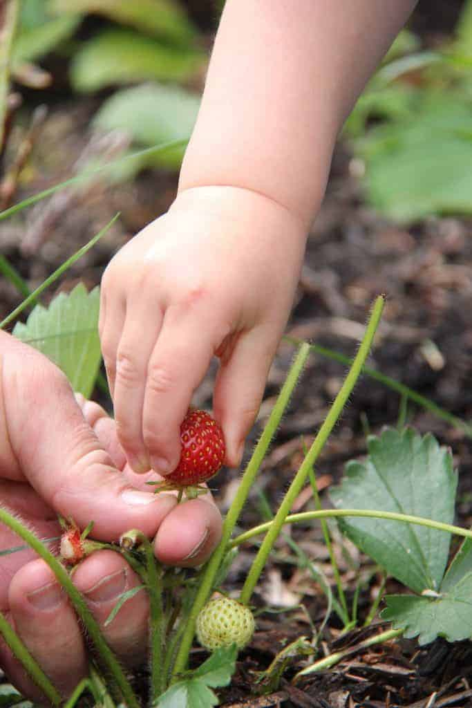 Growing strawberries with kids - learning about food