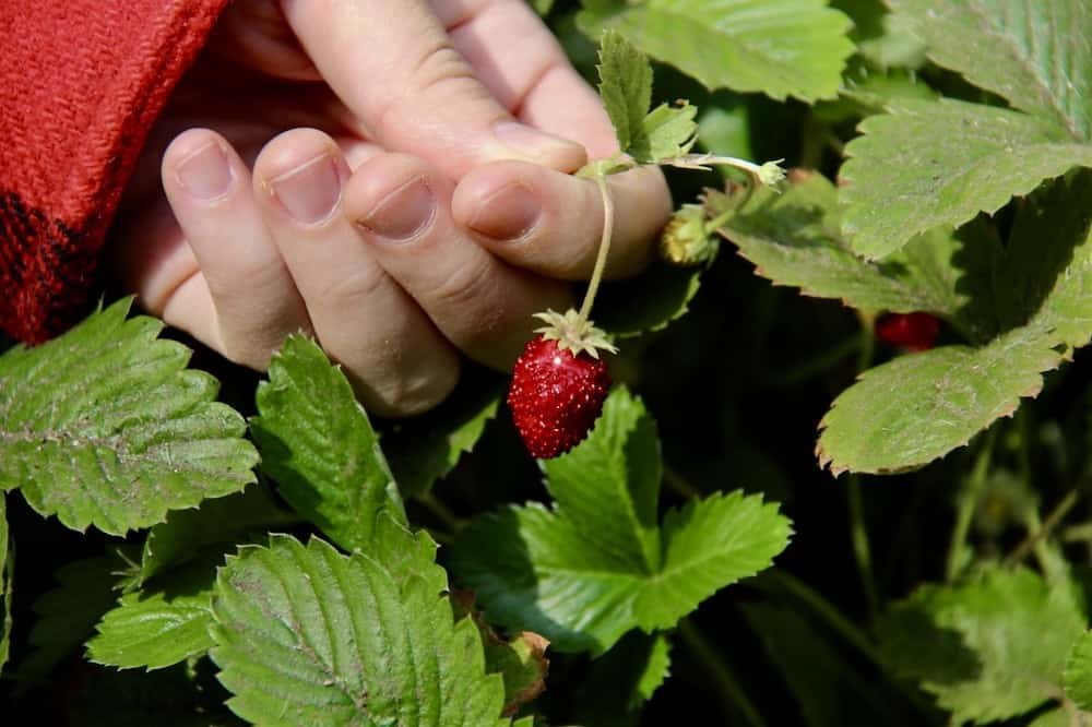 Migonette Alpine Strawberry