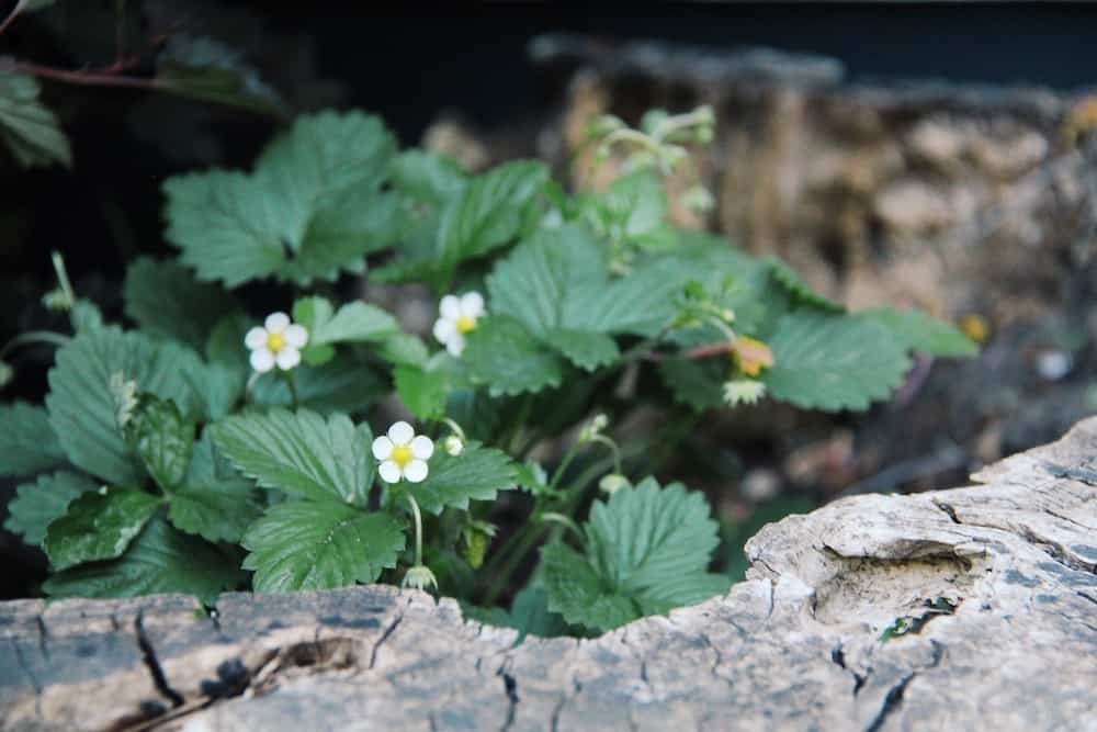 Strawberries in woodland stump