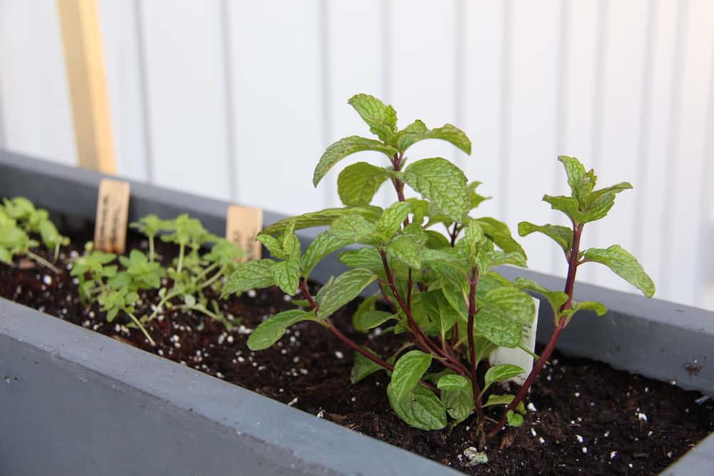 grey planter box growing fresh herbs
