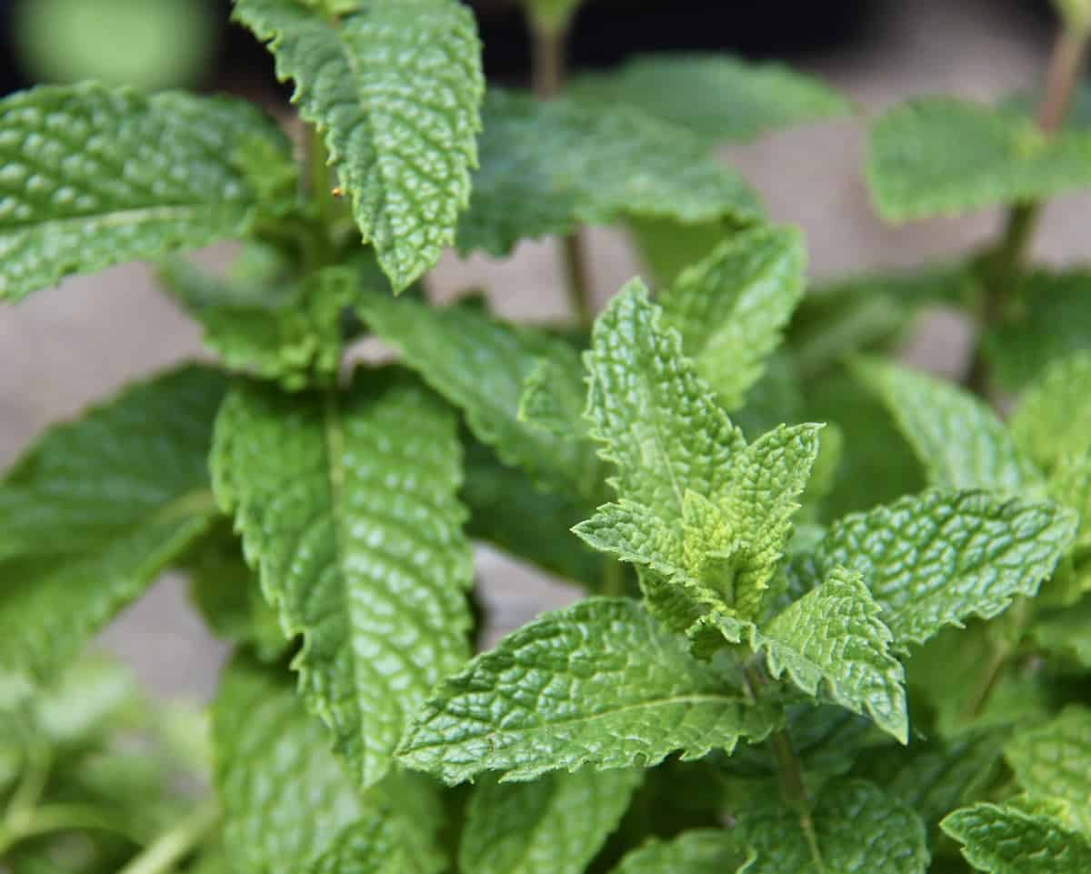 mint - herbs that grow in shade