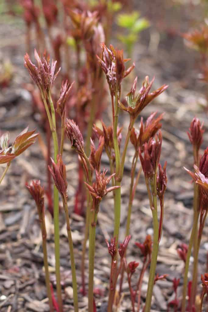 Close up of newly-sprouted peony stems in April before leafing out