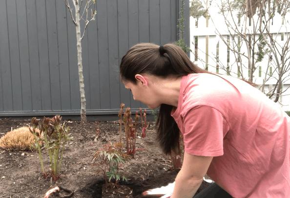Planting Peonies in Spring