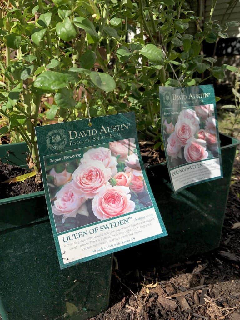 Planting new David Austin roses in springtime