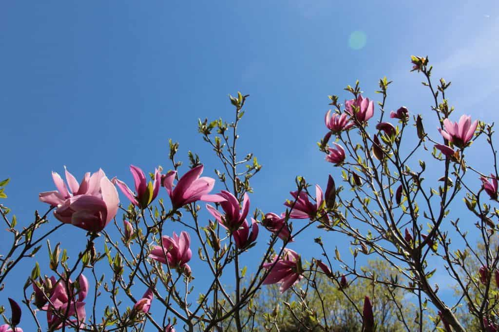 Betty Magnolia Blossoms Against Blue Sky