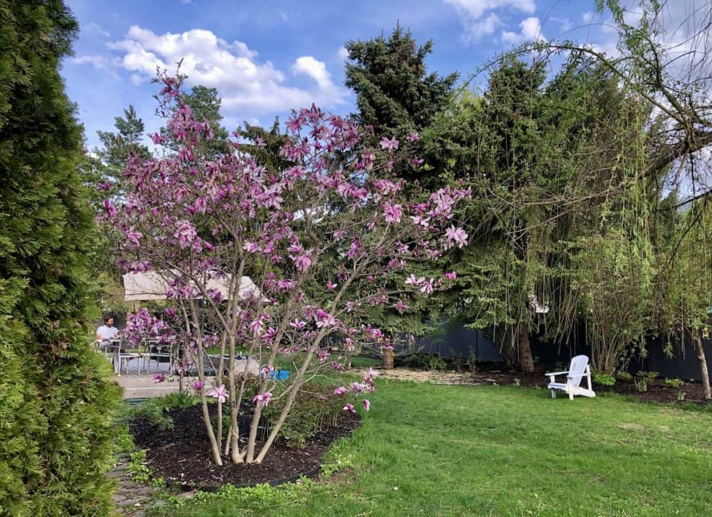 Betty Magnolia in Front Yard - Blooming in Spring - Hybrid Deciduous Magnolia