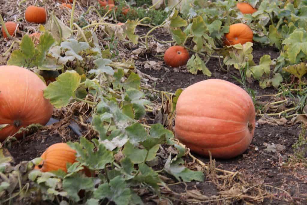 Big pumpkins growing in a pumpkin patch