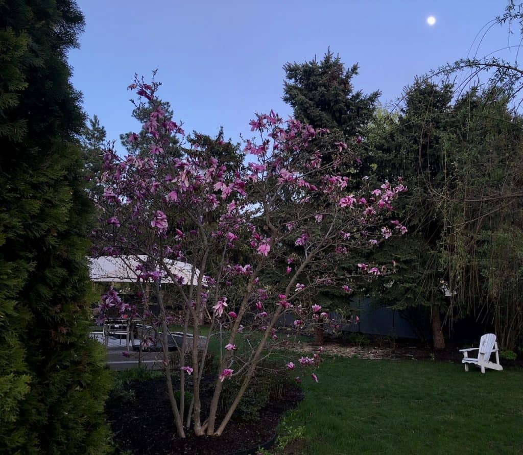 Fully Grown Betty Magnolia - Blooming Betty Magnolia in Landscape