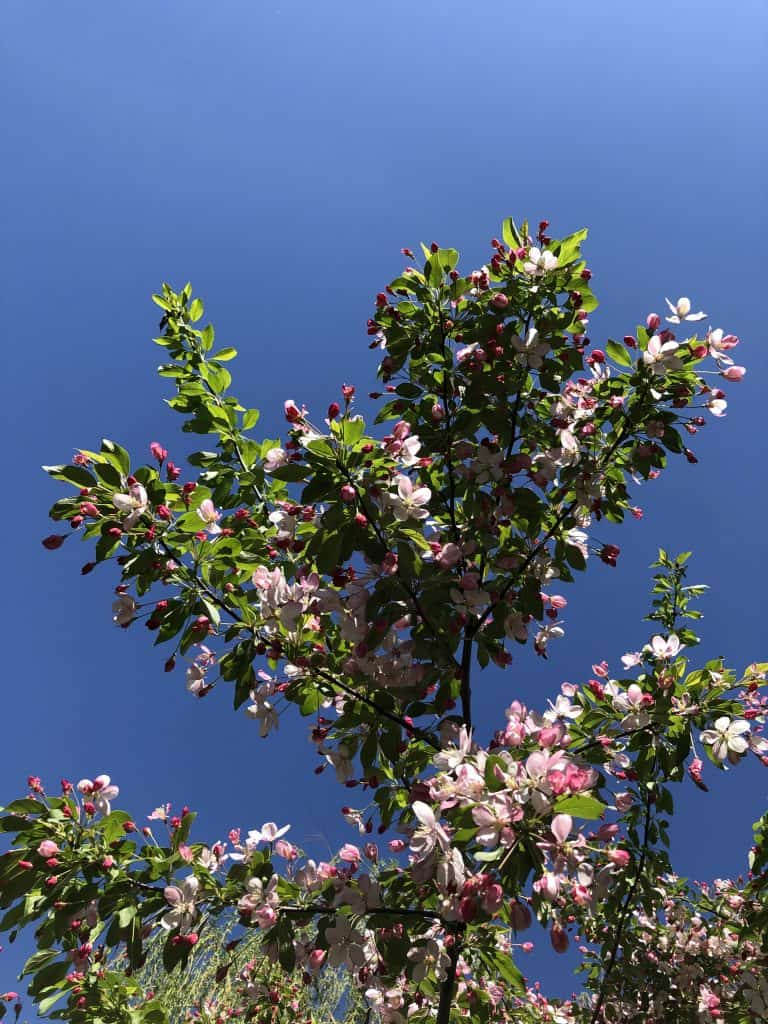 Branches of a Grown Sargent Crabapple Tree against Blue Sky