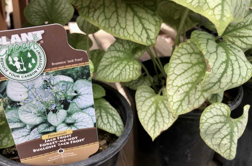 Brunnera Forget-Me-Not Jack Frost at Nursery
