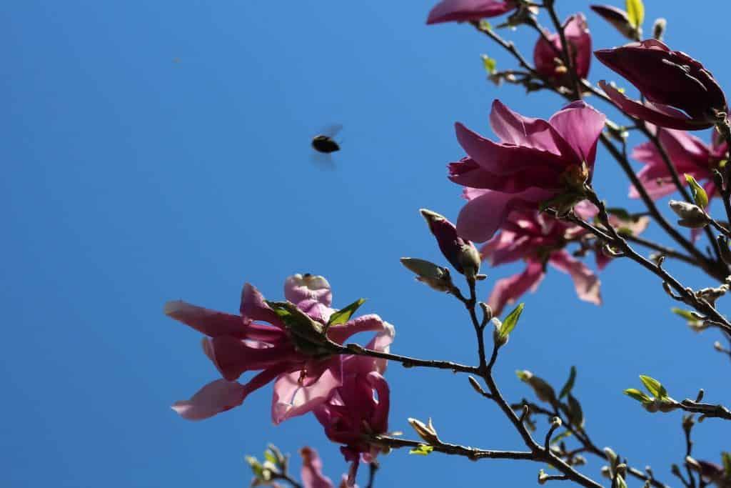 Bumblebee visiting Betty Magnolia