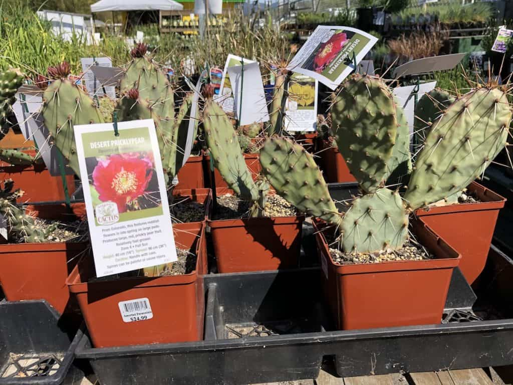 Cactus plants for sale showing photos of their flowers on the tags