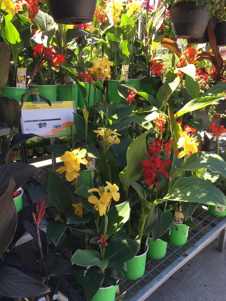 Canna Lillies in Bloom at Garden Center