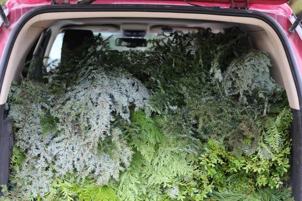 Collecting evergreen greenery for the upcoming holidays