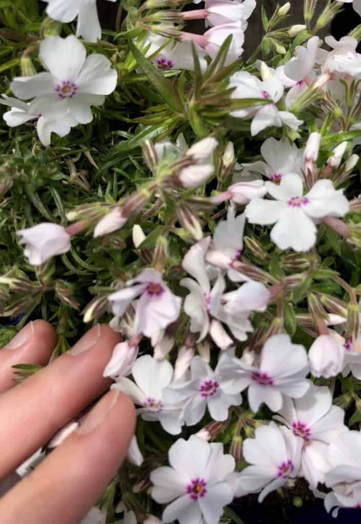Creeping Phlox in white with pink centres for around the tulips