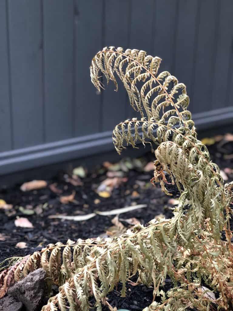 Dead fern foliage in November perennial woodland garden