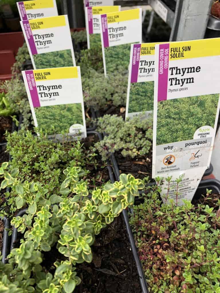 Different Varieties of Thyme in Nursery Pots