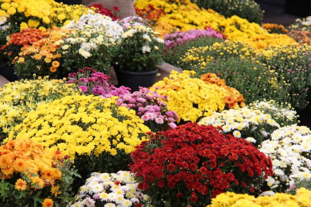 Fall Mums in Yellow, Orange, Red, and other autumn shades for October Front Porch decor
