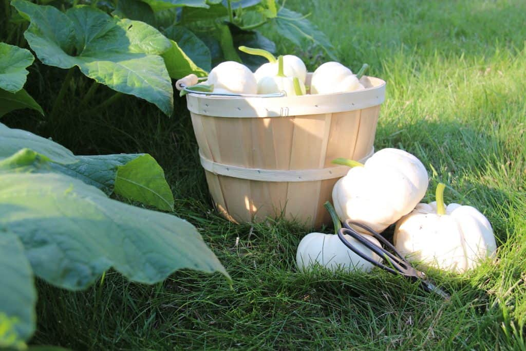 Harvesting ornamental pumpkins for fall decor