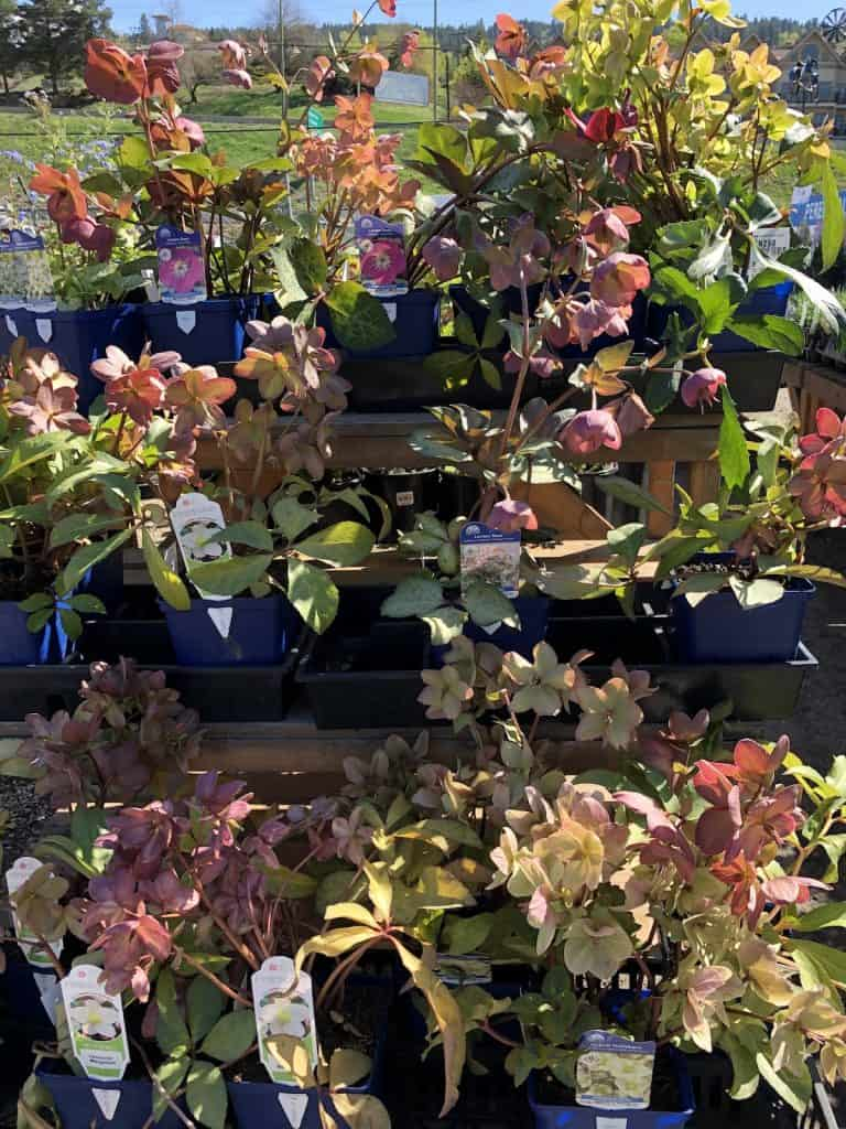 Hellebore Plants for Sale at the Nursery in Springtime