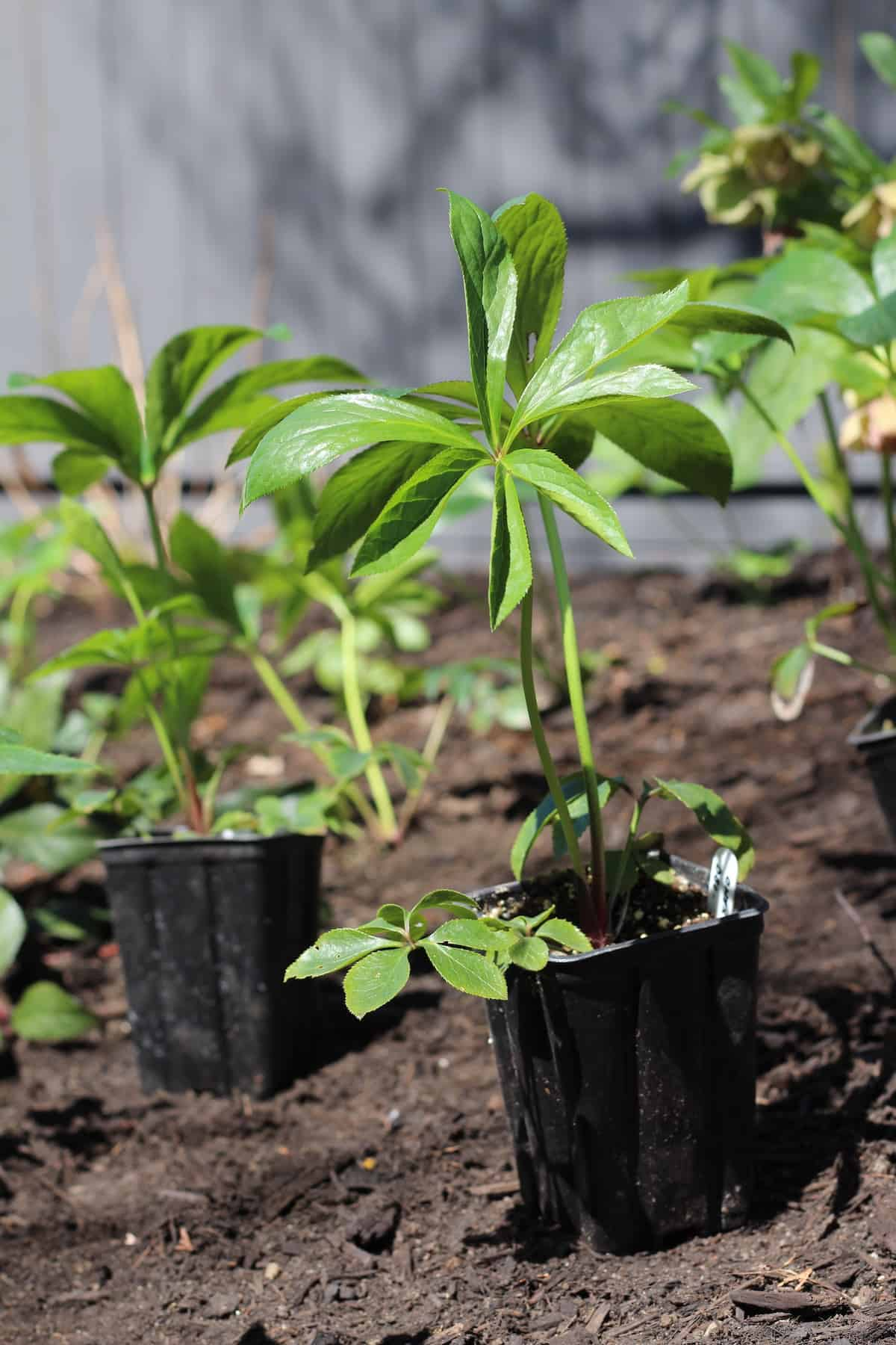 Hellebore Plants in Small Pots Laid Out on Landscape Soil