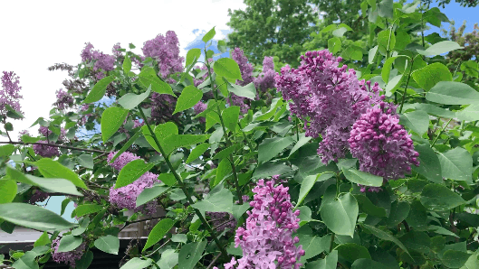 Lilac as a companion plant for blueberry bushes