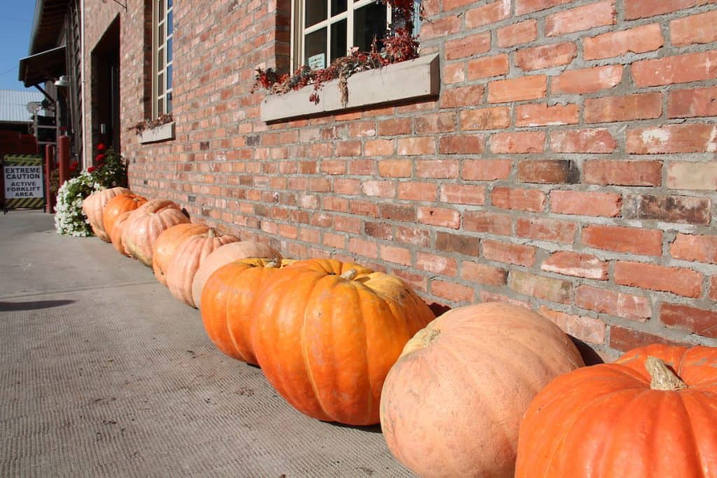 Line of big pumpkins by brick wall outdoors