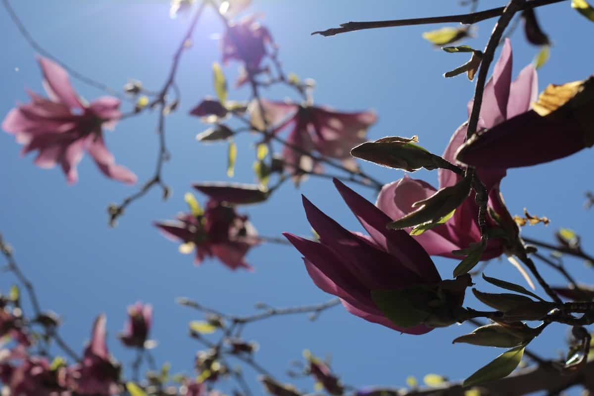 Magnolia Blossoms and Blue Sky in Spring