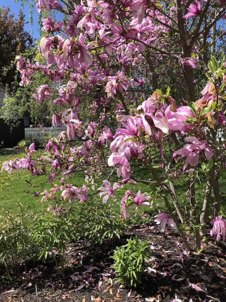 Fading Magnolia Blossoms