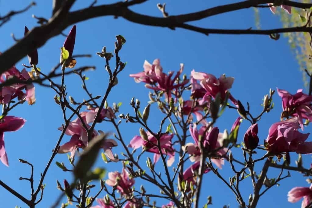 Pink Blossoms in Spring on Magnolia Betty Tree