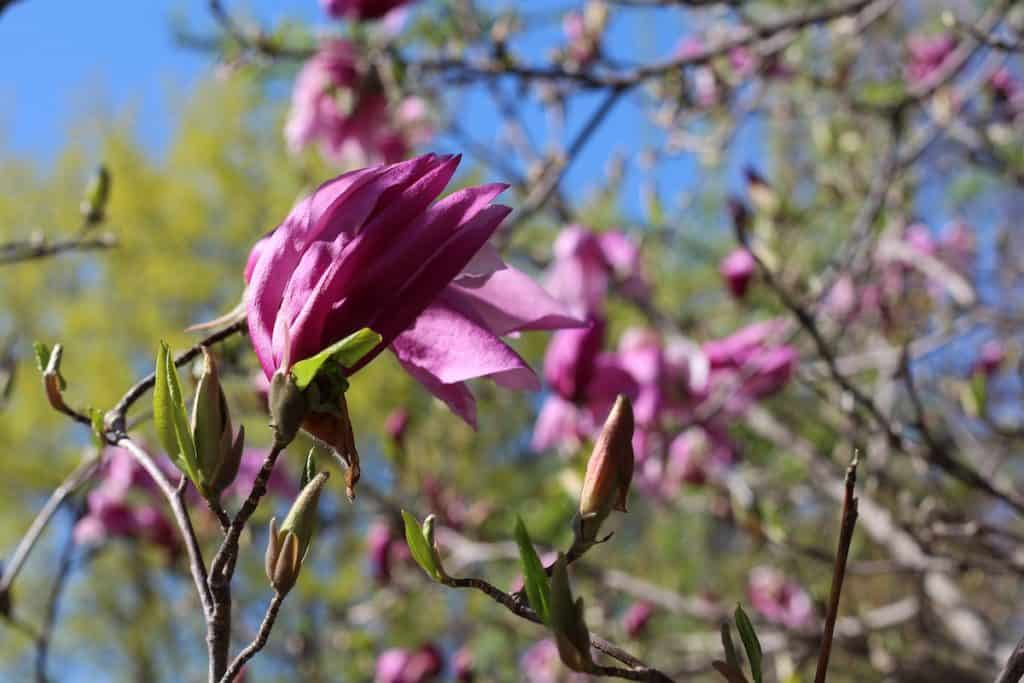 Pink Magnolia Blossom in Spring