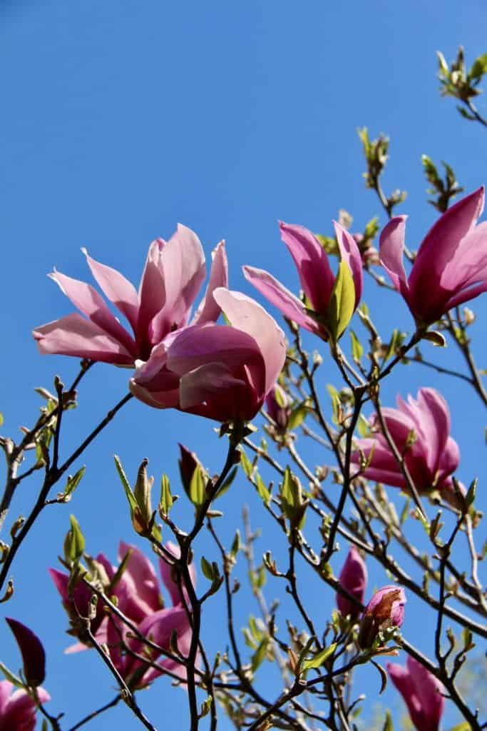 Pink Magnolia Blossoms in Spring