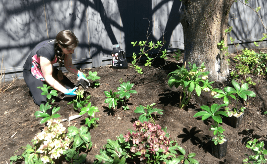 Planting Hellebores in the Shade Garden