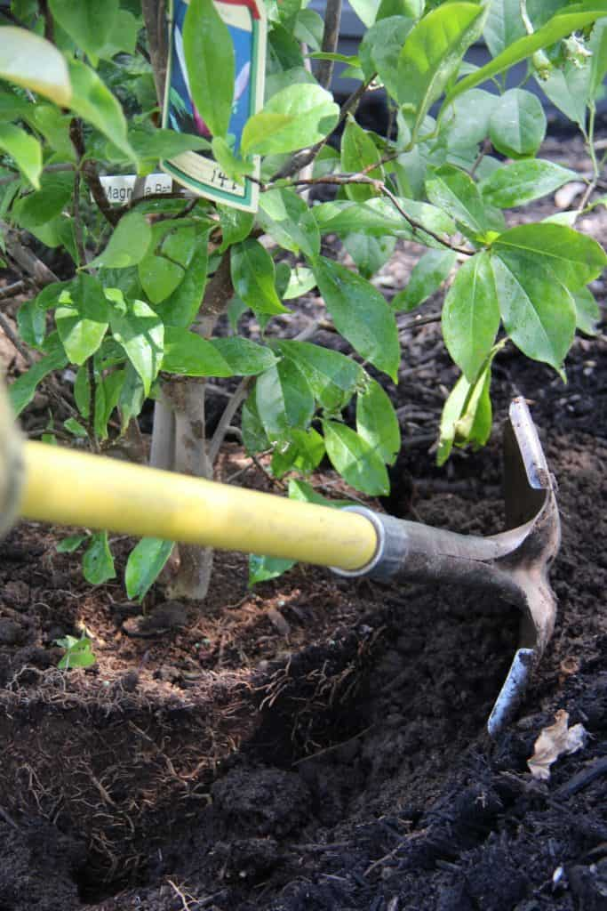 Planting a Betty Magnolia with a Shovel