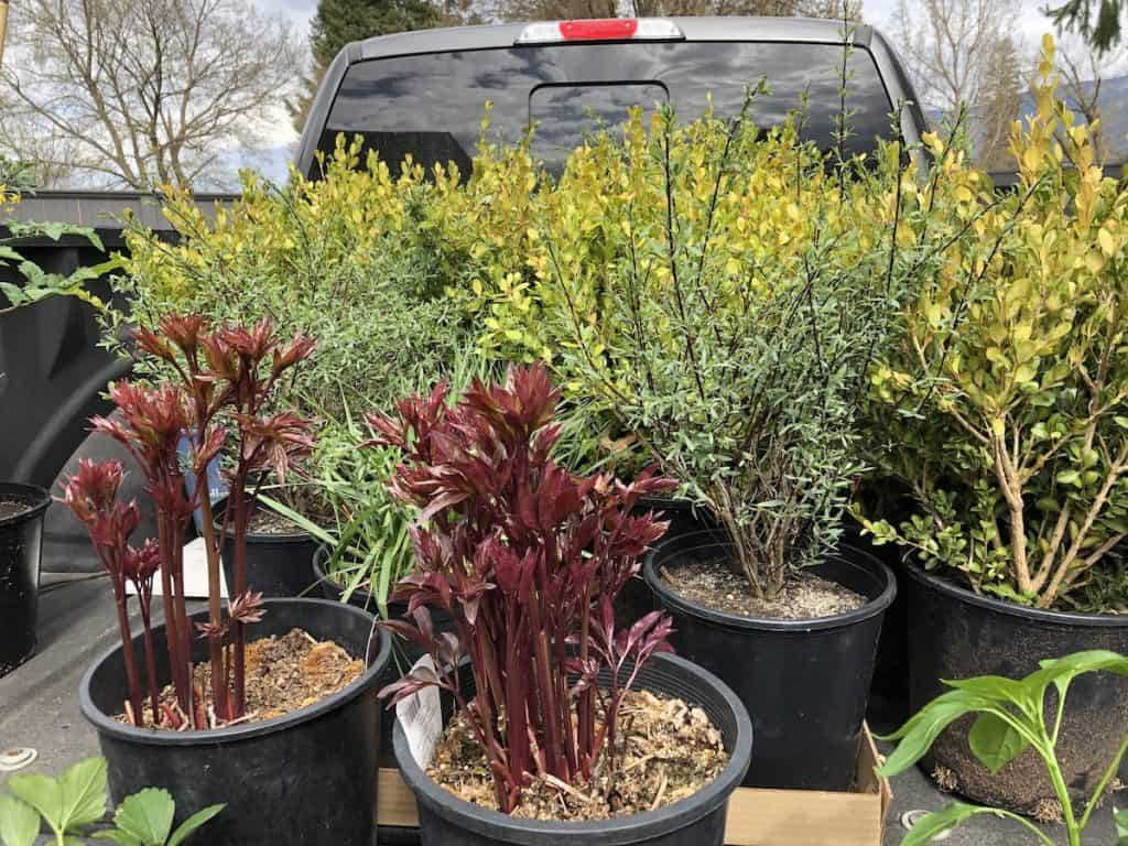 Planting perennials and woody shrubs in September