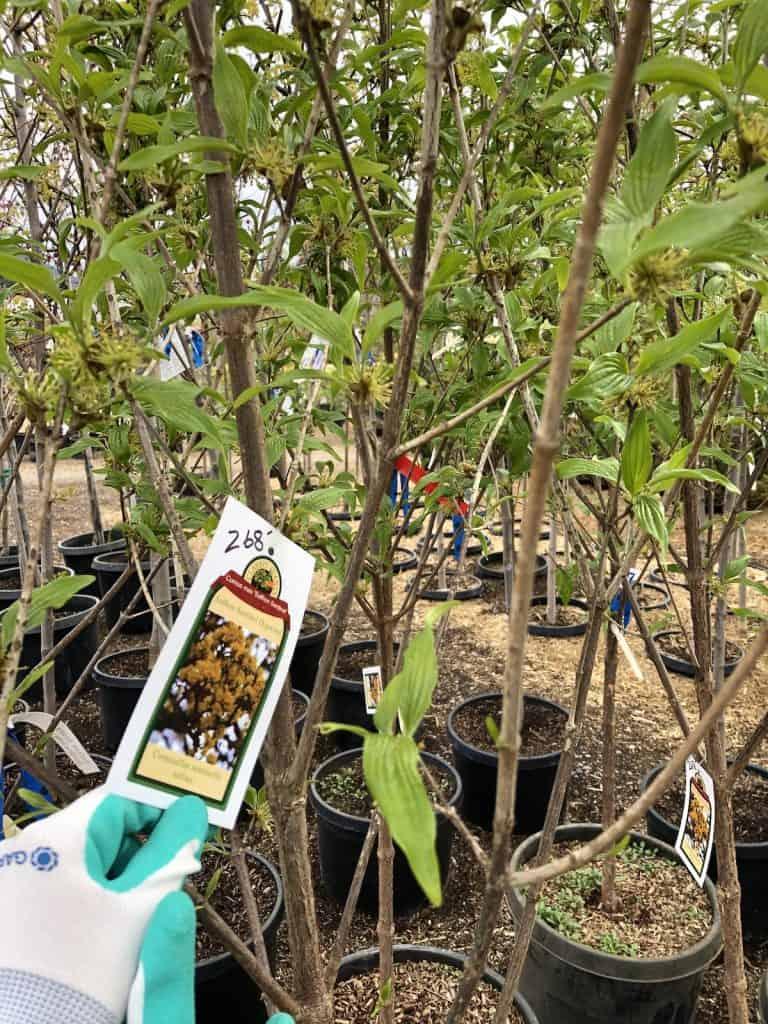 Price Tag on Full Height Grown Dogwood Tree at Ornamental Nursery