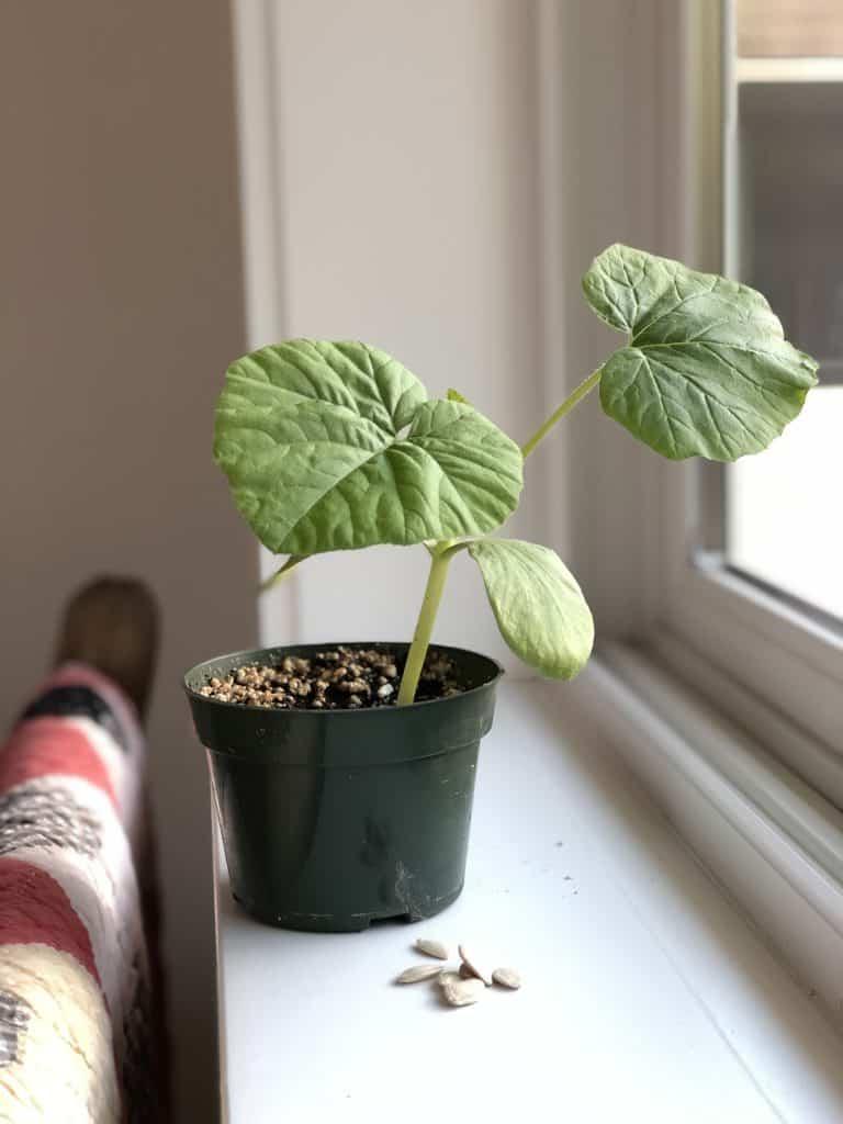 Pumpkin Seedling Plant on Windowsill