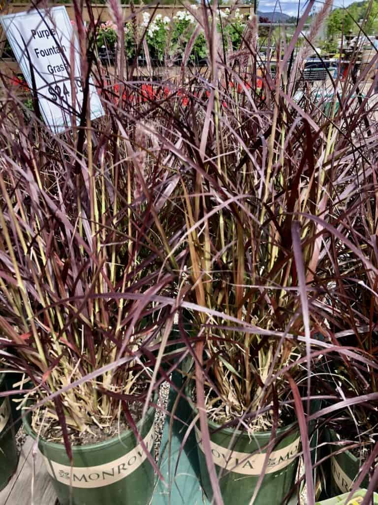 Purple fountain grass by Monrovia for sale at nursery