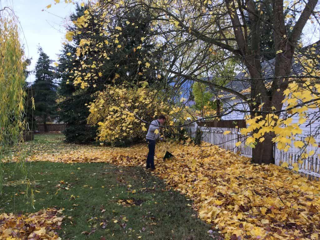 Raking yellow autumn leaves in the backyard