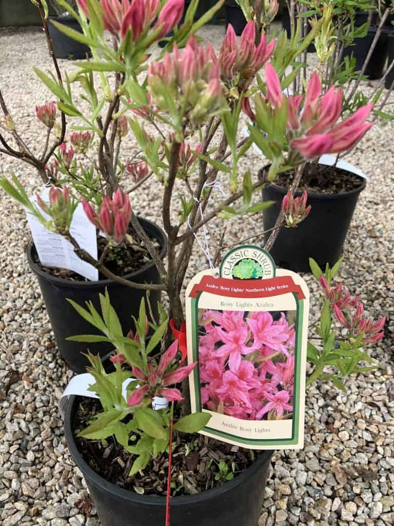 Rosy Lights Azelea for Sale at Nursery with Pink Flowers