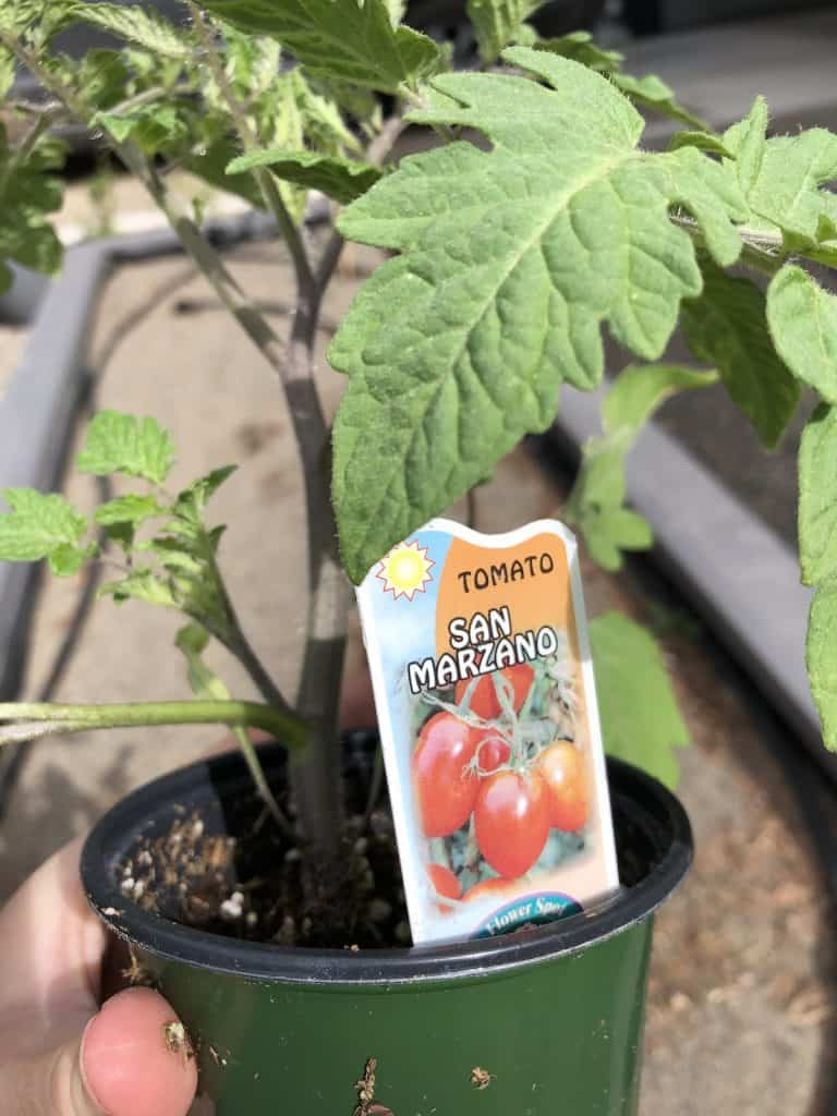 San Marzano Tomato Seedling