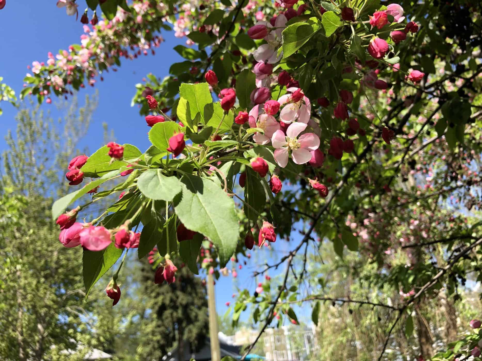 Sargent Crabapple - Foliage, Buds, Blooms of Branch in Spring