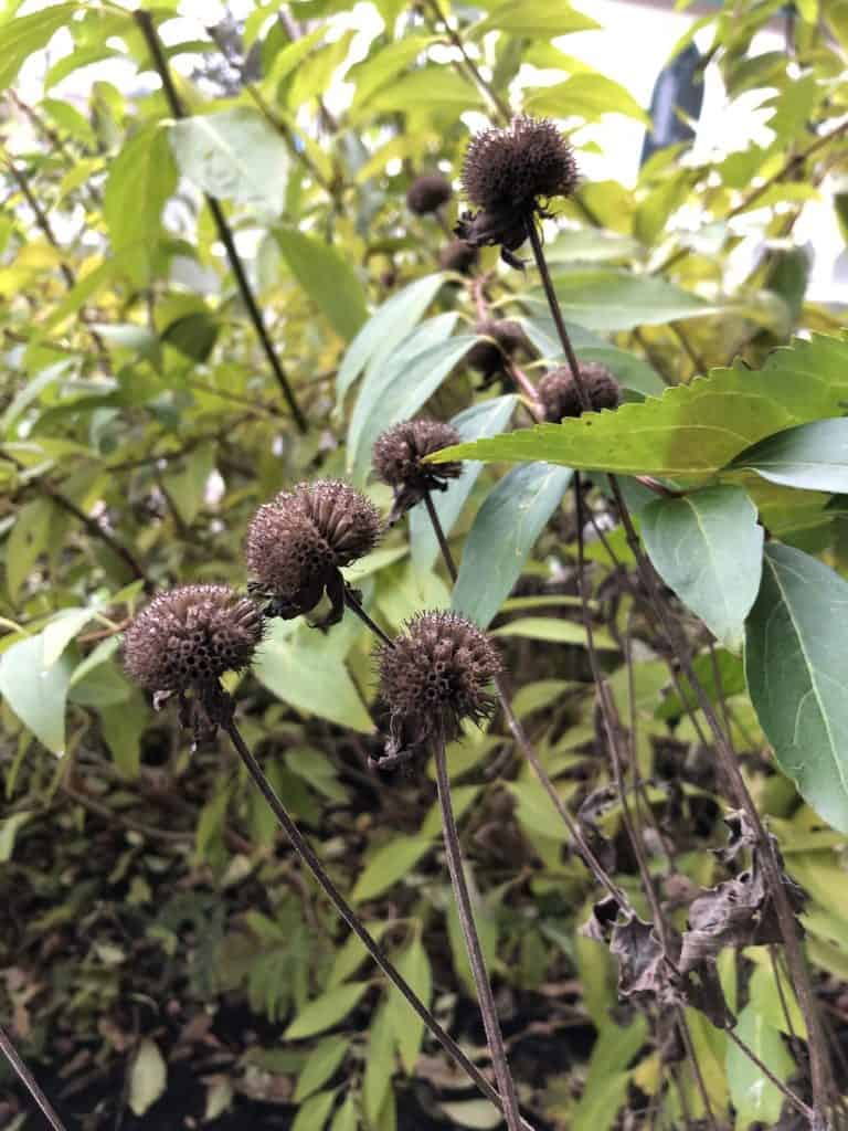 Seed heads from bee balm plant in October