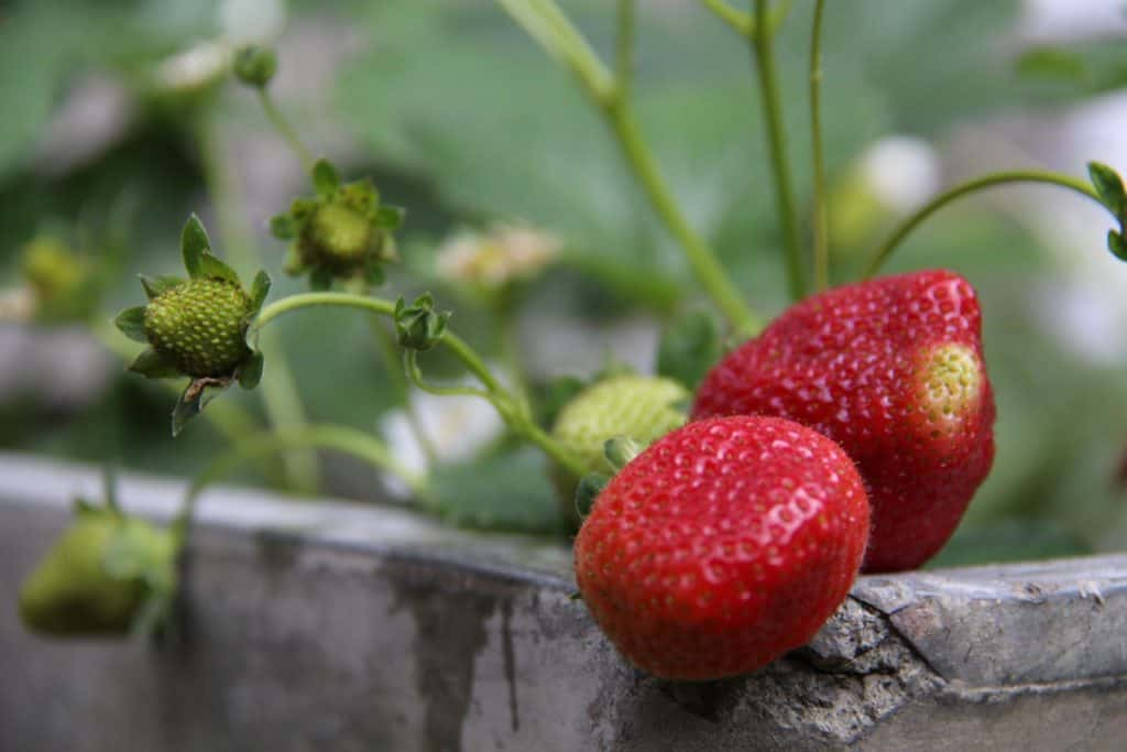 Strawberries growing and ripening in a concrete container in June