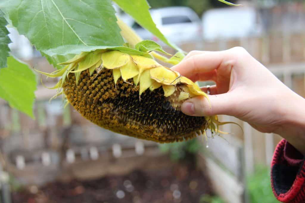 Sunflower head full of seeds in the fall garden